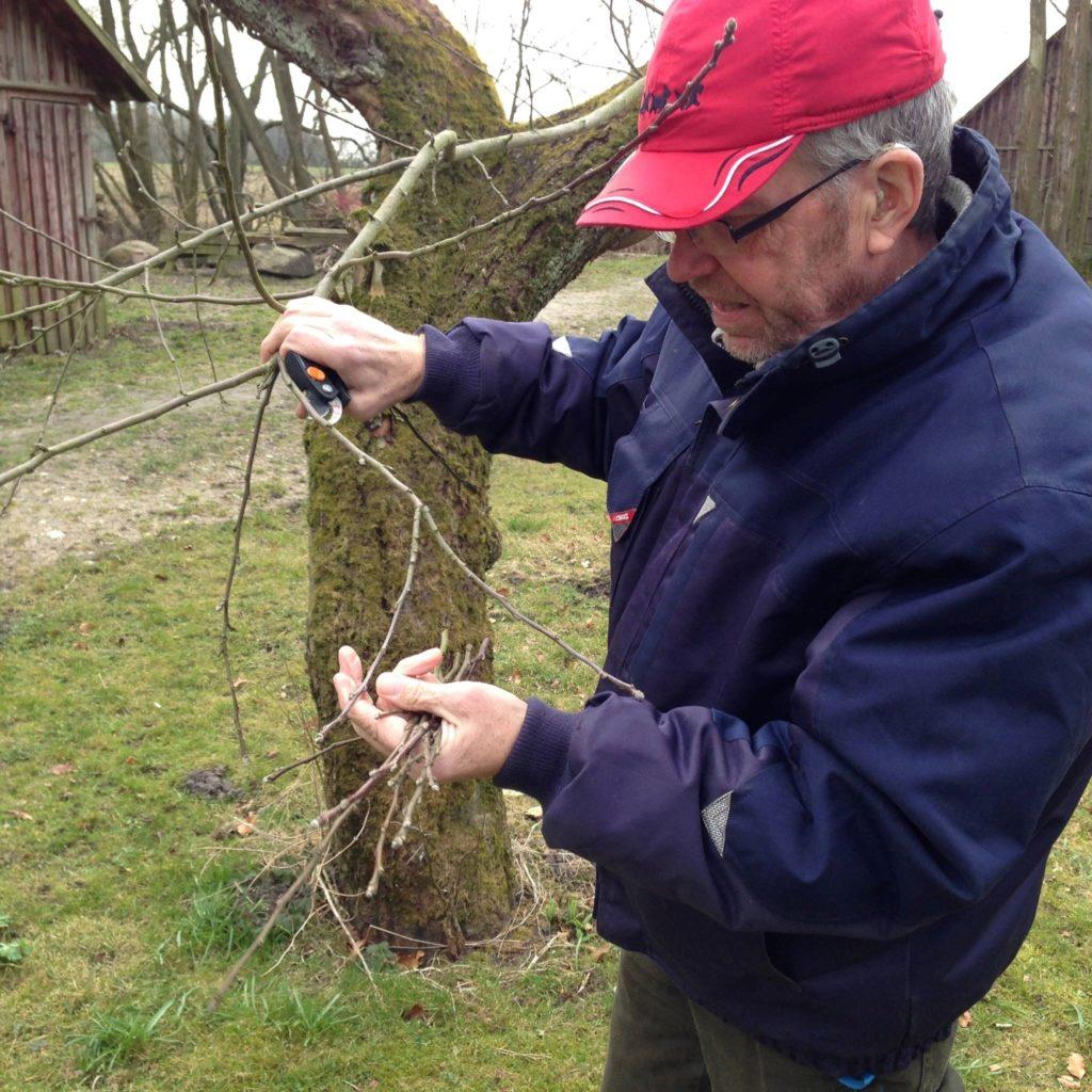 Johannes Gravgaard klipper podekviste til podning af nye æbletræer